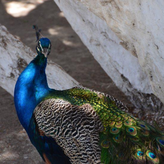 Palace of Moon-like Stars (Sitorai-Mokhi-Khosa) Peacock