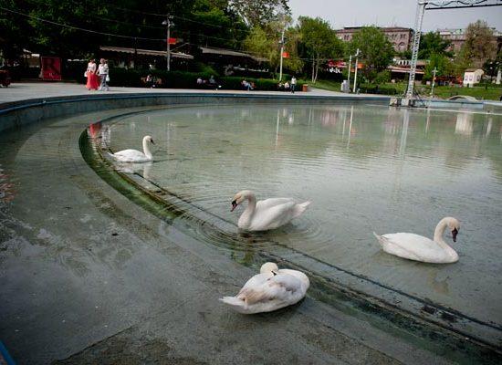 Swan Lake - Swans
